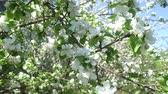 floreios : Spring white flowers on a branch of apples in the afternoon Vídeos