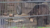 omnivore : Big brown bear in captivity at the zoo
