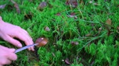 Collection of edible mushrooms aspen in the forest in the moss Stock Footage