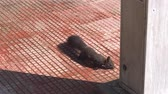 esquilo : black Squirrel runs on the ground in the city Park