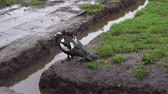 locations : black and white duck hides beak under wing in rainy weather Stock Footage
