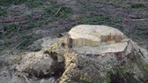 ladrão : deforestation is the stump of a felled tree