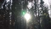 tronco : Evening sun breaks through the trees in the forest Stock Footage