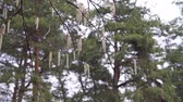 花序 : aspen branches with earrings swaying in the wind in April spring 動画素材