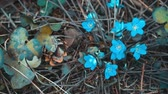 first flowers : Blue snowdrops with in April in the dry forest