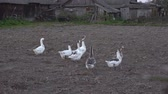 gęś : Domestic geese in the village in the countryside on the ground garden