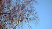 ствол : Birch branches without leaves in early spring against the blue sky
