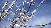 Япония : Peach blossom in April against the blue sky