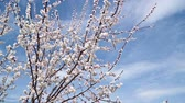 Япония : Blooming white cherry blossoms against the blue sky Стоковые видеозаписи