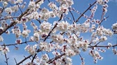 brilhantemente : Blooming white cherry blossoms against the blue sky Vídeos