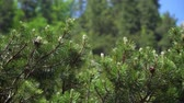 kozalaklı : green pine branches in the forest on a summer day