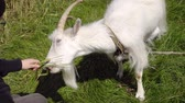 cabra : goat eats barley from the hands