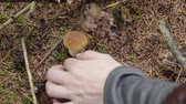 fungos : picking mushrooms in the forest in autumn. woman cuts mushroom boletus with a knife