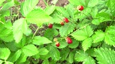 morangos : Wild strawberry berry grows in a clearing in the forest