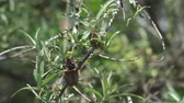 жук : may large beetles on the branches of sea buckthorn Стоковые видеозаписи