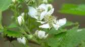 amoras : Close-up of BlackBerry Bud in summer in the garden