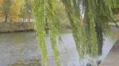 salice : autumn landscape. the branches of the willow over water Filmati Stock