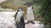 pinguim : Three beautiful adult penguins close up