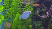 Япония : Trichopodus microlepis. White tropical fish in the aquarium gourami, moon gourami moonlight