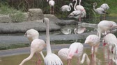 hejno : flock of pink flamingos feed in a shallow pond