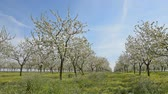 freshness : cherry trees with flowers blooming in springtime swinging in the wind, cherry orchard, Full HD