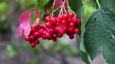 trees : Viburnum opulus ripe red berries closeup