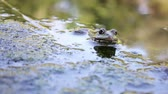 white lipped : River frog on shore Stock Footage