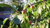 cherrytree : Half-ripe cherries tree branch with pair of tasty fruit on wind. Close up half-ripe fresh cherry Stock Footage