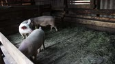 business : Pigs covered with mud and with tags in the ears on the pig farm