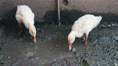 trough : Many geese drink water from the dirty trough on the farm after the rain Stock Footage