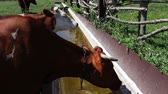 trough : Cow drinks water from the trough. A cow wants to drink,Dairy cow drinking water. Stock Footage