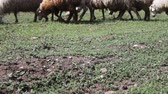 kırpılmış : Agricultural industry.Herd of sheep and ram grazing on the field.