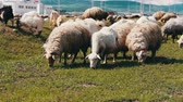 kırpılmış : Herd of sheep and ram grazing on the field. Agricultural industry. Stok Video