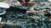 common heather : Man cuts mushrooms with a knife in the forest. Harvest mushroom after rain in grass and dry leaves, close up