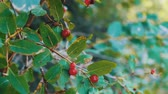 cowberry : Red wild forest berries grow in the bush in the summer and sway in the wind close up