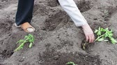 pesticide : Woman is planting young tomato plants in the garden, watering them and digging in the earth