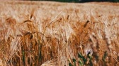 slowmotion : Ripe beautiful spikelets of wheat are fluttering in a wind