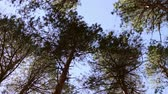 supine : Swaying treetops, view from below to the top,Looking up at swaying slowly pine tree tops against clear blue sky in coniferous forest. Low angle view