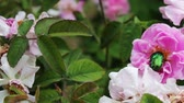 bloom : Flowering bushes of pink roses on which sits on large green bug