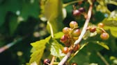 coffee cherries : Unripe berries are still green cherries on tree Stock Footage