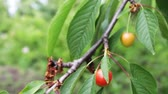 coffee cherry : Unripe berries are still green cherries on tree Stock Footage