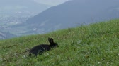 nibbling : Cute fluffy black rabbit chews grass on background of the picturesque Austrian valley Stock Footage