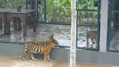 плотоядный : Beautiful cubs in a cage, past them passes another tiger and looks around