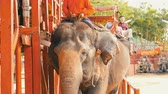 uganda : PATTAYA, THAILAND - DECEMBER 26, 2017: Elephants in elephant village. The elephants on which the tourists ride Stock Footage