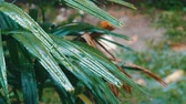 wind gust : Rain drops flow down on palm leaves. Tropical Rain in Asian Countries