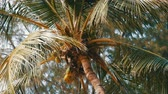 balinese : Coconut tree on beach. Large green coconuts on a palm tree close up view from below