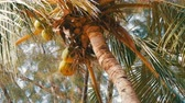 fastening : Coconut tree on beach. Large green coconuts on a palm tree close up view from below
