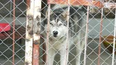 husky : Alaskan Malamute with eyes of different colors runs in cage with a lattice