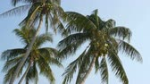 amendoim : Three coconut palms with green coconuts on palm tree