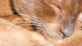felis : Extraordinary wool sparkles in the sun. Very beautiful cat of unusual brown color sleeps. The smooth-haired cat lies with closed eyes. Macro close up
